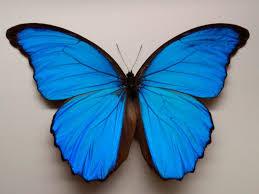 Tatuajes de Mariposas Azules foto real de una mariposa